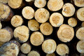 Cut down and piled pine logs Stock Image