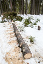 Cut down spruce tree lying in the snow Royalty Free Stock Photo