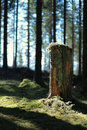 Cut down tree from fir forest trunk remains Royalty Free Stock Photo