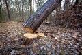 Cut down tree Royalty Free Stock Photo