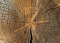 Cut down tree trunk texture  close up Royalty Free Stock Photo