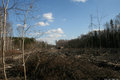 Cut down trees in the Khimki forest