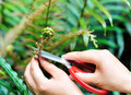 Cut fern hands with scissors Royalty Free Stock Photo
