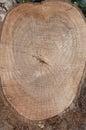 Cut log wood grain Royalty Free Stock Photo