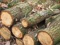 Cut oak tree logs Royalty Free Stock Photo