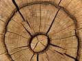 Cut an old oak Royalty Free Stock Photo