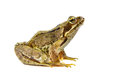 Cut out Common frog Royalty Free Stock Photo