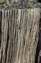 Cut pine trunk along
