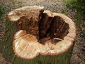 Cut rotten tree stump Royalty Free Stock Photo