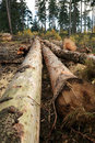 Cut tree logs freshly piled up forest devastation of the environment Royalty Free Stock Photography