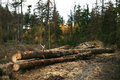 Cut tree logs freshly piled up forest devastation of the environment Royalty Free Stock Images