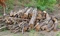 Cut wood stump log Royalty Free Stock Photo
