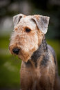 Cute Airedale Terrier portrait Royalty Free Stock Photo