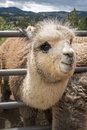 Cute alpaca on farm in oregon Stock Images