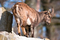 Cute alpine ibex baby Royalty Free Stock Photos