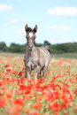 Cute arabian foal running in red poppy field with blue sky Royalty Free Stock Photo