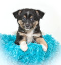 Cute aussie puppy little sitting in a blue blanket on a white background Stock Image