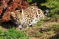 Cute Baby Amur Leopard Cub Crouching by Bush Royalty Free Stock Photography