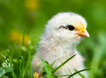 Cute baby chick in grass Royalty Free Stock Photo