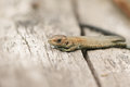 A cute baby Common Lizard Lacerta Zootoca vivipara the size of a small worm warming up on a log. Royalty Free Stock Photo