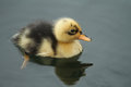A cute baby Duckling Anas platyrhynchos swimming on the water. Royalty Free Stock Photo