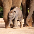 Cute baby elephant protected by family Royalty Free Stock Images