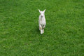 Cute baby goat goatling young green meadow grass front Royalty Free Stock Photo