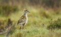 A Cute baby Golden Plover Pluvialis apricaria chick in the moors in Durham, England. Royalty Free Stock Photo