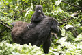 Cute baby gorilla sitting on mum's back Royalty Free Stock Image