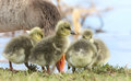 Cute baby Greylag Goose goslings Anser anser standing on the bank of a lake eating grass. Royalty Free Stock Photo