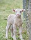 Cute baby lamb Royalty Free Stock Photo