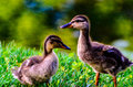 Cute baby mallard ducklings duckling showing expressive face Royalty Free Stock Image