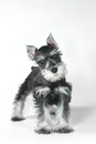Cute baby miniature schnauzer puppy dog on white adorable and Stock Photo