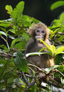 The cute baby monkey eating leaves a sitting on branch Royalty Free Stock Images
