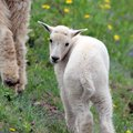Cute Baby Mountain Goat Royalty Free Stock Photo