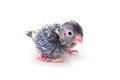 Cute baby pacific parrotlet forpus coelestis perched against white background Royalty Free Stock Image