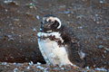 Cute baby penguin in Magdalena Island Royalty Free Stock Photo