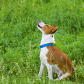 Cute basenji begging heavens to send him food some Royalty Free Stock Images