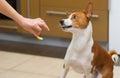 Cute basenji dog wonders about eating lemon this strange human food Stock Photo