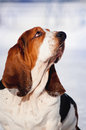 Cute Basset Hound in winter Royalty Free Stock Photo