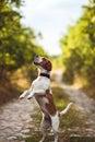 A Cute Beagle Dog Begs