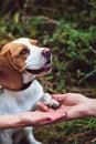 A Cute Beagle Dog Gives A Paw