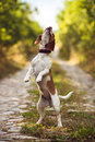 A Cute Beagle Dog Playing In The Nature