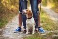A Cute Beagle Dog Sits In The Nature