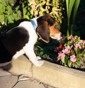 Cute Beagle puppy smelling some pink flowers Stock Image