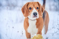 Cute beagle winter portrait outdoor Stock Photo