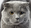Cute beautiful grey cat Royalty Free Stock Photography