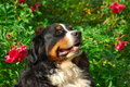 Cute Bernese Mountain Dog Royalty Free Stock Photography