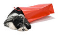 Cute Bichon Havanese puppy dog with a red bag Royalty Free Stock Photography