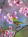 Cute bird sitting on blossom tree branch chiang mai province thailand Stock Photo